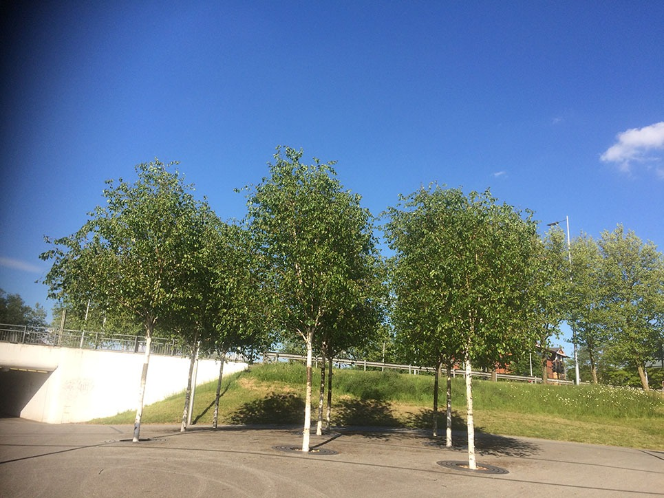 Urban Trees help to avoid the heat island effects. Avoid floods. Paper Birch. Published in The Green Bee: Eco-Journalism Author Juanele Villanueva
